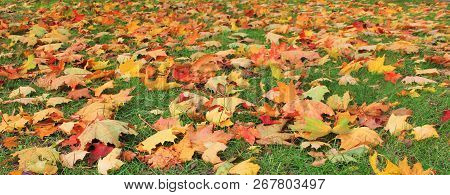 Autumn Leaves Colorful Background On Green Grass At City Park. Outdoor Nature Scene Of Fall Landscap