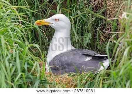Brooding seagull at Inchcolm Island near Edinburgh in Scotland poster