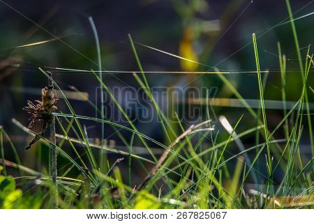 Grass With Spider Web. Grass On The Background Of River. Closeup Of Green Grass. Spider Web On A Gre