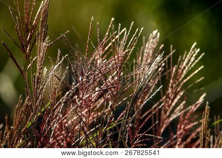 Closeup Of Grass. Grass On The Background Of River. Nature Grass Near The River In Latvia. Abstract
