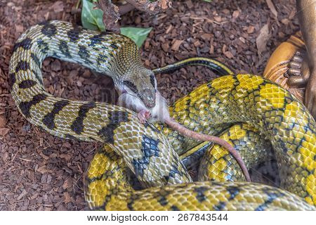 A Taiwan Beauty Snake In Captivity Eating A Mouse