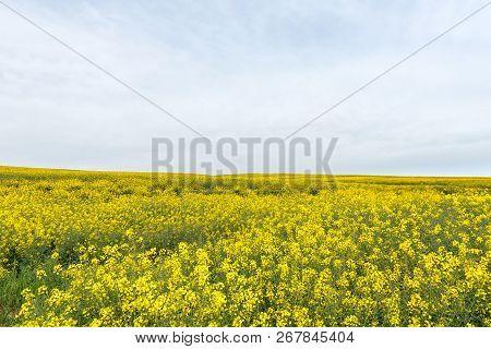 A Canola Field Near Melkbosstrand In The Western Cape Province