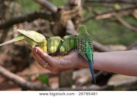Four Green And Yellow Budgies On A Human Hand