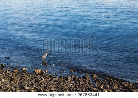 Heron Wading Bird On A Rocky Shore Waterline With Space To Place Text