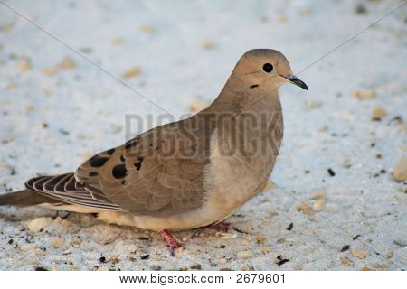 Mourning Dove On Sand
