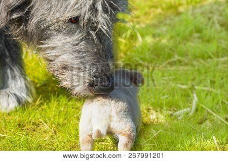 Big Dog - Irish Wolfhound Sniffs A Little Puppy
