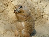 Funny prairiedog eating his meal standing up poster