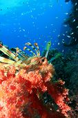 Lionfish (Pterois miles) looks out from behind red soft coral with glassfish in background poster