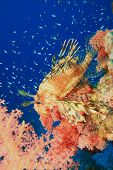 Lionfish, Soft Coral and Glassfish poster
