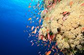 Soft Coral and Lyretail Anthias poster