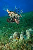 Lionfish stalks an Anemonefish which seeks protection in a Haddon's Anemone poster