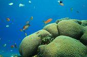 Brain Coral (Platygyra daedalea) poster