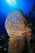 Gorgonian Sea Fan (Annella mollis) poster