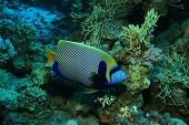 Emperor Angelfish (Pomacanthus imperator) poster