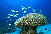 Fish and Coral: Red Sea Dascyllus and Acropora coral poster