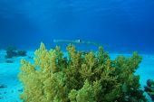 Smooth Cornetfish (Fistularia commersonii) poster