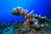 Lionfish and Table Coral poster