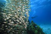 Underwater image of Shoal of Fish (Glassfish - Golden Sweepers) and Scuba Diver in Blue Ocean poster