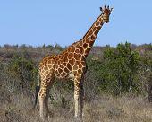 Reticulated Giraffe in Kenya, East Africa poster