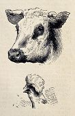 Antique illustrations of cow and rooster heads. Original, from drawing of Blanchard and Lambert, was published on L'Illustration, Journal Universel, Paris, 1860 poster