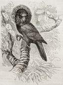 Old illustration of Red-fan parrot (Deroptyus accipitrinus). Created by Kretschmer and Jarmhargt, published on Merveilles de la Nature, Bailliere et fils, Paris, 1878 poster