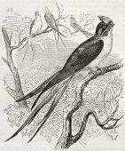 Klecho Swallow old illustration (Dendrochelidon klacho). Created by Kretschmer, published on Merveilles de la Nature, Bailliere et fils, Paris, 1878 poster