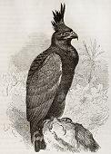 Long Crested Eagle old illustration (Lophaetus occipitalis). Created by Kretschmer and Jahrmargt, published on Merveilles de la Nature, Bailliere et fils, Paris, 1878 poster