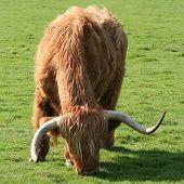 highland cattle grazing in green fertile field poster