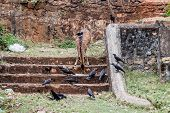 Chital and crows in the Fort Frederick in Trincomalee, Sri Lanka poster