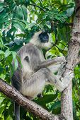 Tufted gray langur Semnopithecus priam on a tree in the Fort Frederick in Trincomalee, Sri Lanka poster