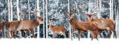 A noble deer with females in the herd against the background of a beautiful winter snow forest. Artistic winter landscape. Christmas photography. Winter wonderland. Banner design. poster
