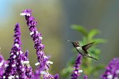 One ruby throated hummingbird in flight hovering in purple Mexican Sage flower bushes. It is by far the most common hummingbird seen east of the Mississippi River in North America poster