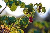 Red raspberry berry on a branch of a bush in the backlight of the sun halo aureole, covered with green leaves, the natural beauty of the garden. A branch of raspberry in the light of the sunset sun. poster