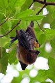 Fruit bat (pteropus giganteus) hanging on the tree poster