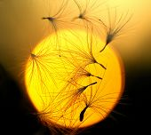 Some dandelion seeds fly away on a sunset  background poster