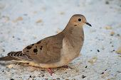 Mourning Dove Bird Sitting on Beach Sand with Seeds and Shells poster