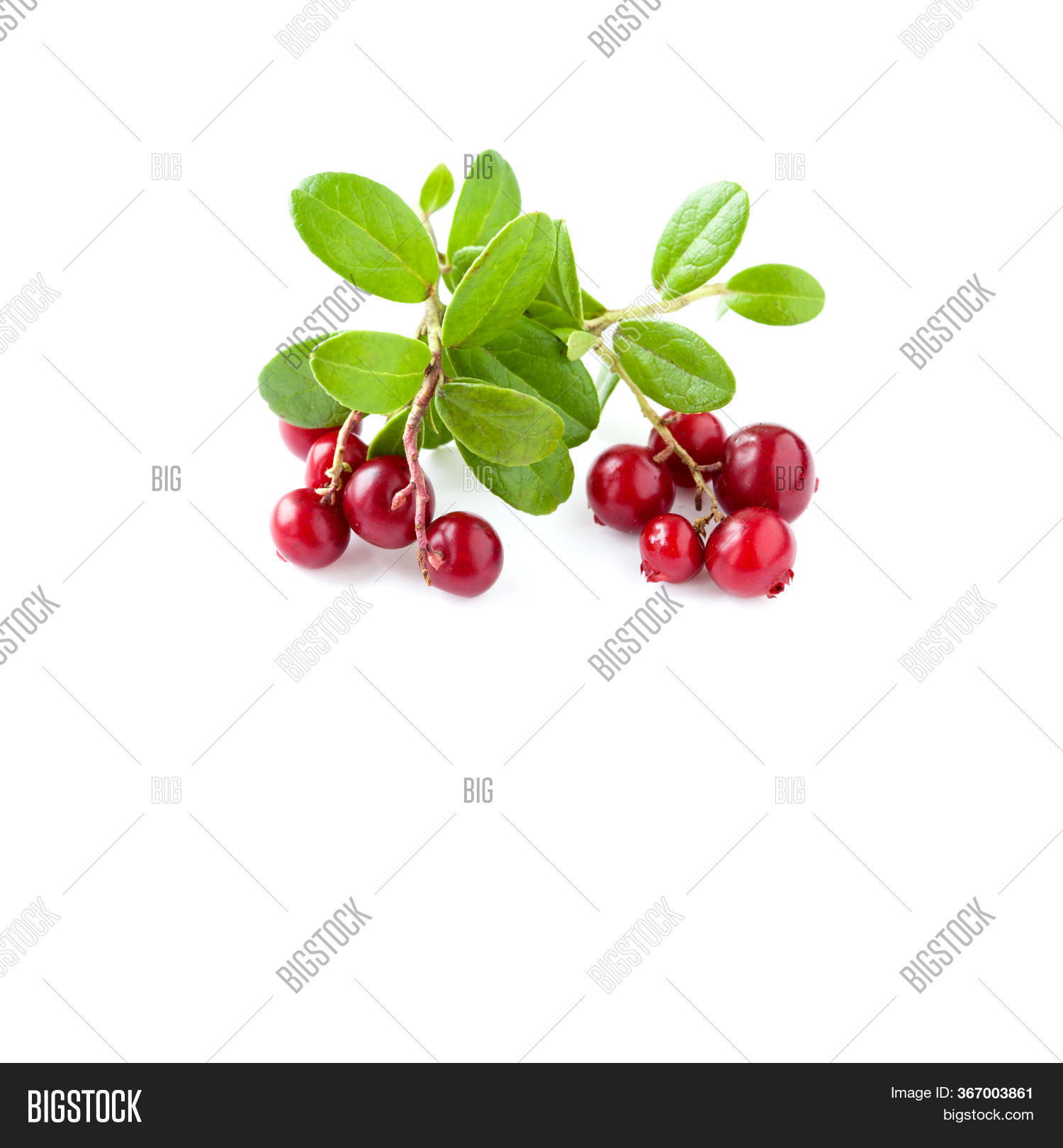 Wild Cowberry Isolated Image & Photo Free Trial   Bigstock