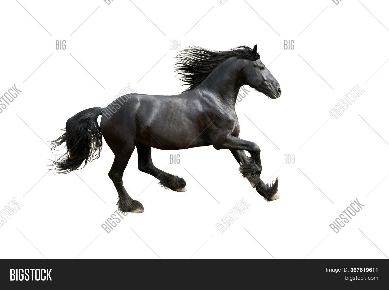 Black Friesian Horse Image Photo Free Trial Bigstock