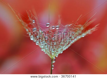 Water drops on dandelion