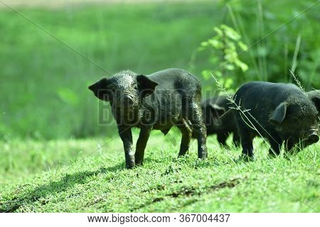 Black Pig Or Pig Group In India