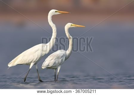The Great Egret, Large Egret, Or Great White Egret Or Great White Heron Is A Large, Widely Distribut