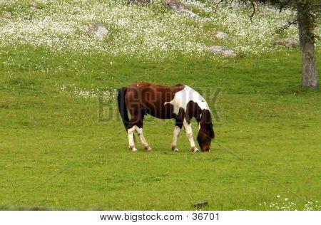 Paint Horse, Snowcap Wildflowers