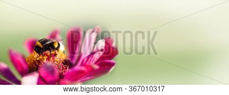 Macro View Bumble Bee Pollinates Zinnia Flower. Beautiful Summer Nature Wallpaper. Shallow Depth Of