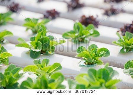Hydroponics,organic Fresh Harvested Vegetables,farmers Working With Organic Hydroponic Vegetable Gar