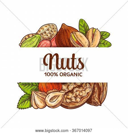 Nuts Seeds Sketch Vector Banner. Various Nuts For Healthy Nutrition. Shelled Pistachios And Peanut O
