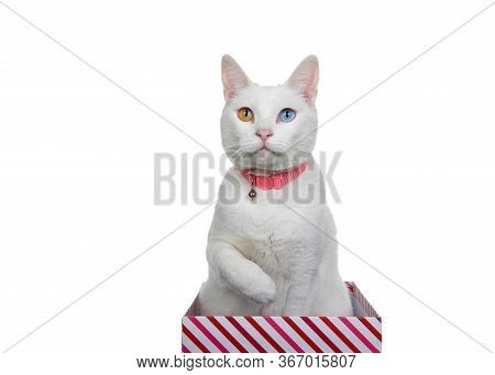 Close Up Portrait Of A White Cat With Heterochromia, Odd Eyes, Wearing A Pink Collar With Bell. Sitt