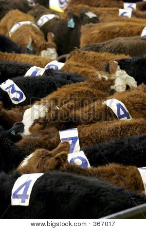Cattle And Numbers