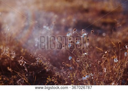 Daisies On A Blurred Background. Beautiful Toned Photo. Natural Background In Warm Colors. Daisy Flo