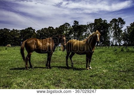 Horses In The Field. Beautiful Equine Animal In Its Habitat. Large Size Animal For Racing.
