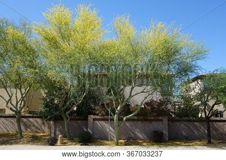 Beautiful Palo Verde Along Xeriscaped Public Street In Phoenix, Az